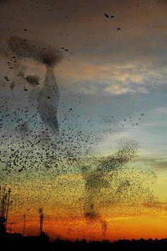 murmuration of starlings, so fascinating