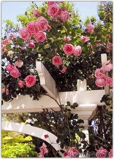 Climbing roses are as heavy as they are beautiful, so make sure their supporting structures are adequate & secured. (tips on climbers)