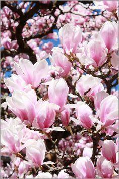 ber ideen zu magnolienb ume auf pinterest. Black Bedroom Furniture Sets. Home Design Ideas