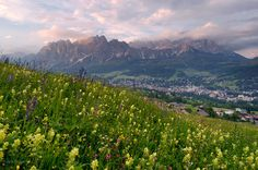 wildflowers, Cristallo, Cortina d'Ampezzo, Dolomites, Italy, photo