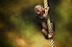 In Dreams I Can Fly by Manuela Kulpa (Bonobo, primate park Apenheul) <3