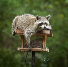 This is a guide about getting rid of raccoons. Raccoons are very intelligent and can be cute when viewed from afar. However, they can also be messy and feisty pests to have around.