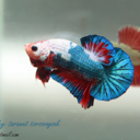A Betta Life To Live
