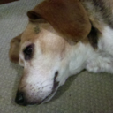 Beagles and passels of...
