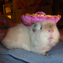 Guinea Pigs in Hats