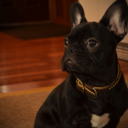 Brody The Frenchie