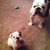Pickle & Harvey ( a Bulldog Blog )