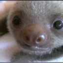 your-daily-baby-sloth