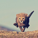 cheetah-chaser.tumblr.com