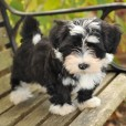 Willow Springs Havanese and Labradors