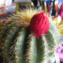 Lonely Cactus Flower