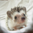 Everything is hedgehog and nothing hurts