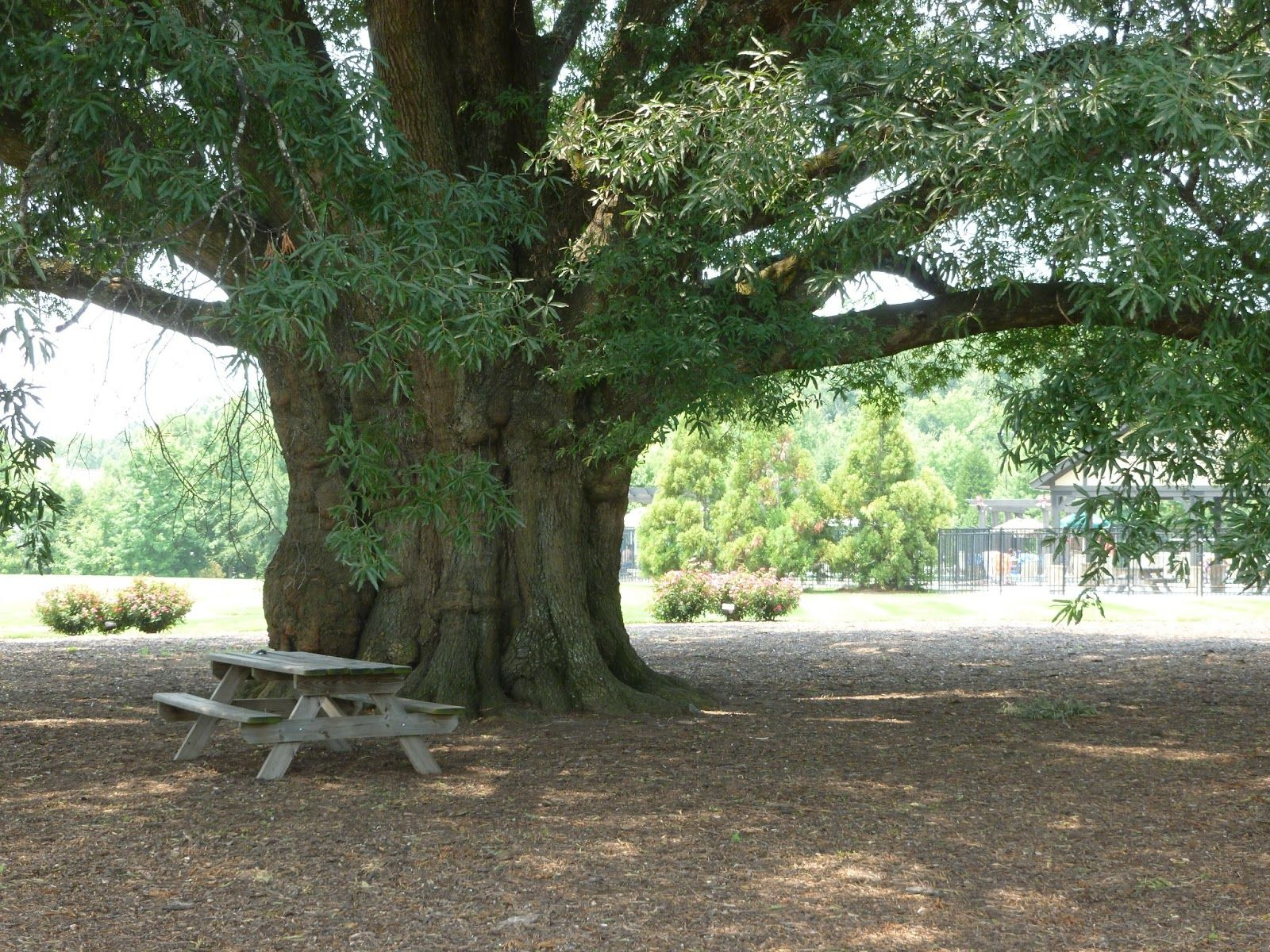 The largest tree, a Willow Oak in North Carolina is