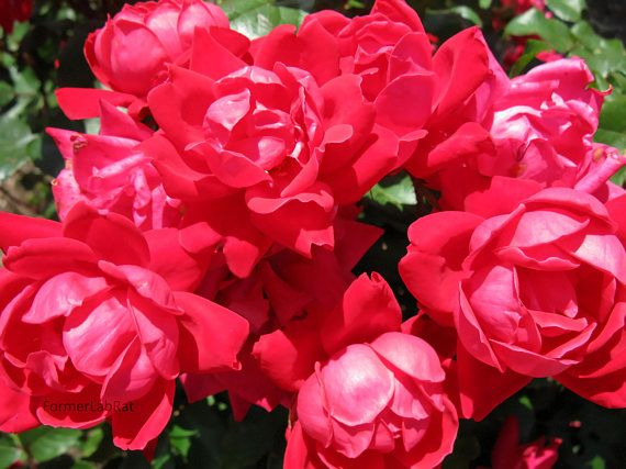 red rose photo rose bush photo flower photography downloadable