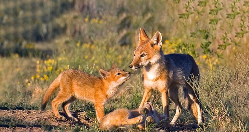 Recovering America S Wildlife Act Introduced In U S Senate Clarksville Tn Online Wildlife America Acting