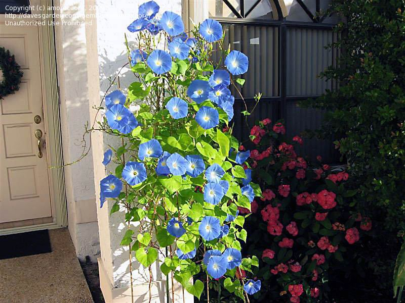 Morning Glory Heavenly Blue Grown Over Arbors Trellises Porches Banks Hanging Baskets Flowers Are 5 V Garden Vines Blue Morning Glory Morning Glory