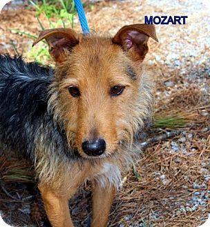 Yardley, PA Australian Terrier/Yorkie, Yorkshire Terrier