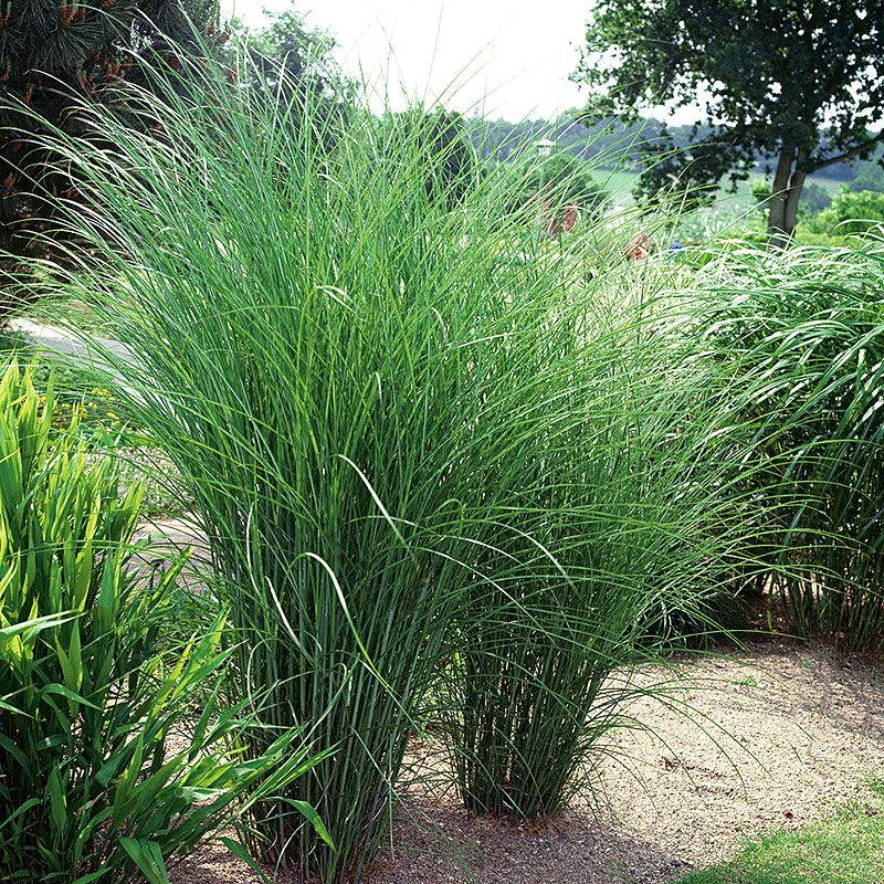 glansmiscanthus 39 gracillimus 39 watkins parking strip. Black Bedroom Furniture Sets. Home Design Ideas