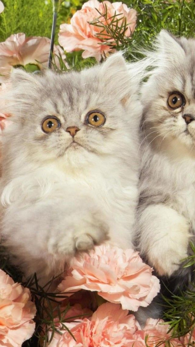 Persian kittens, Cat, Animal, Cute, Fluffy
