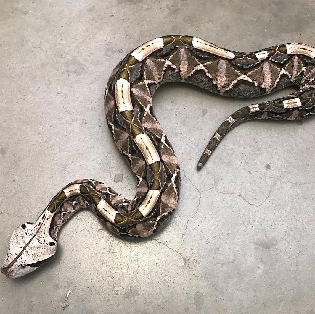 "wildlifeanimall on Instagram: ""🐍🐍🐍 Gaboon Viper"