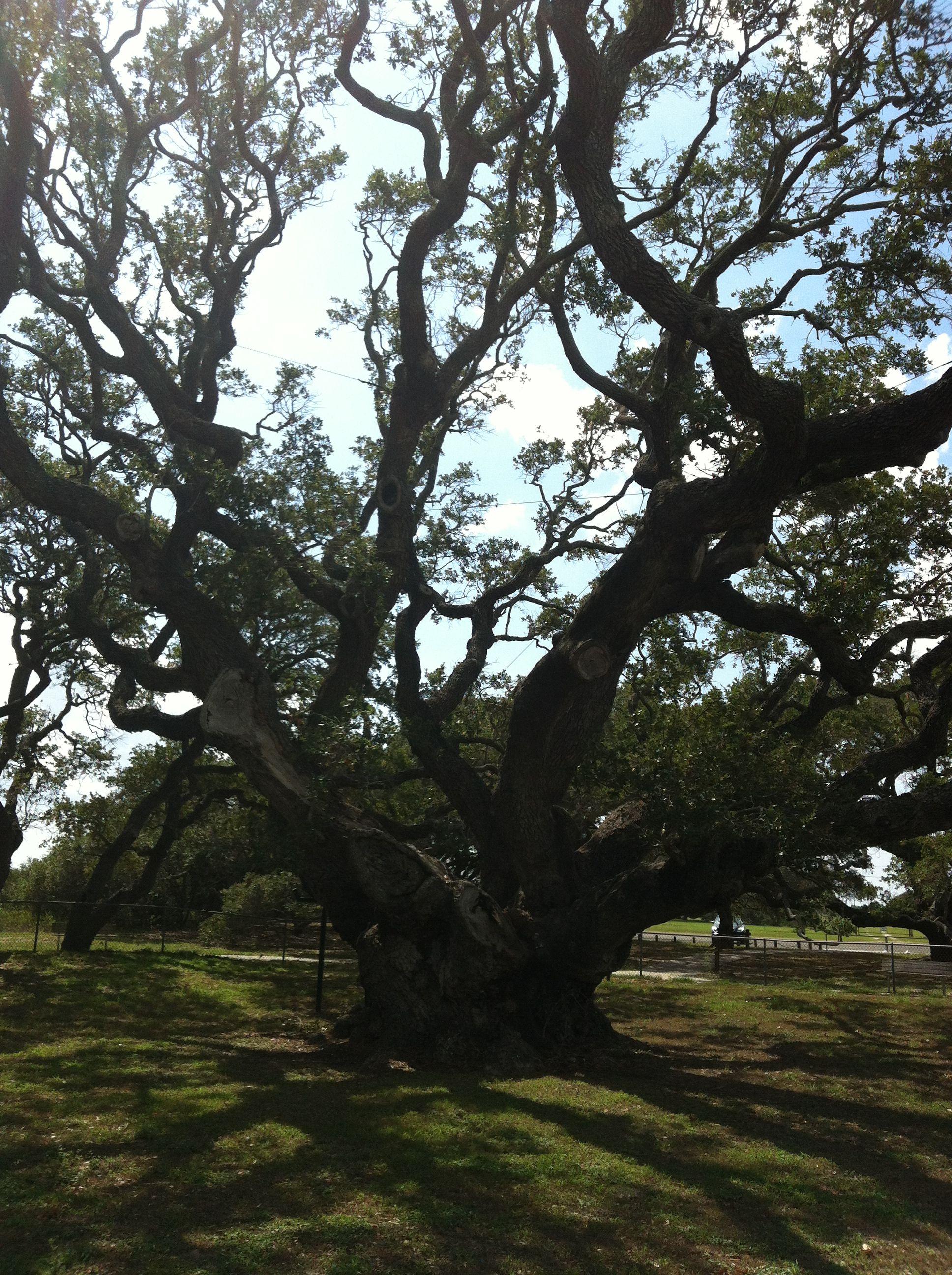 Big Tree,  1000 years old