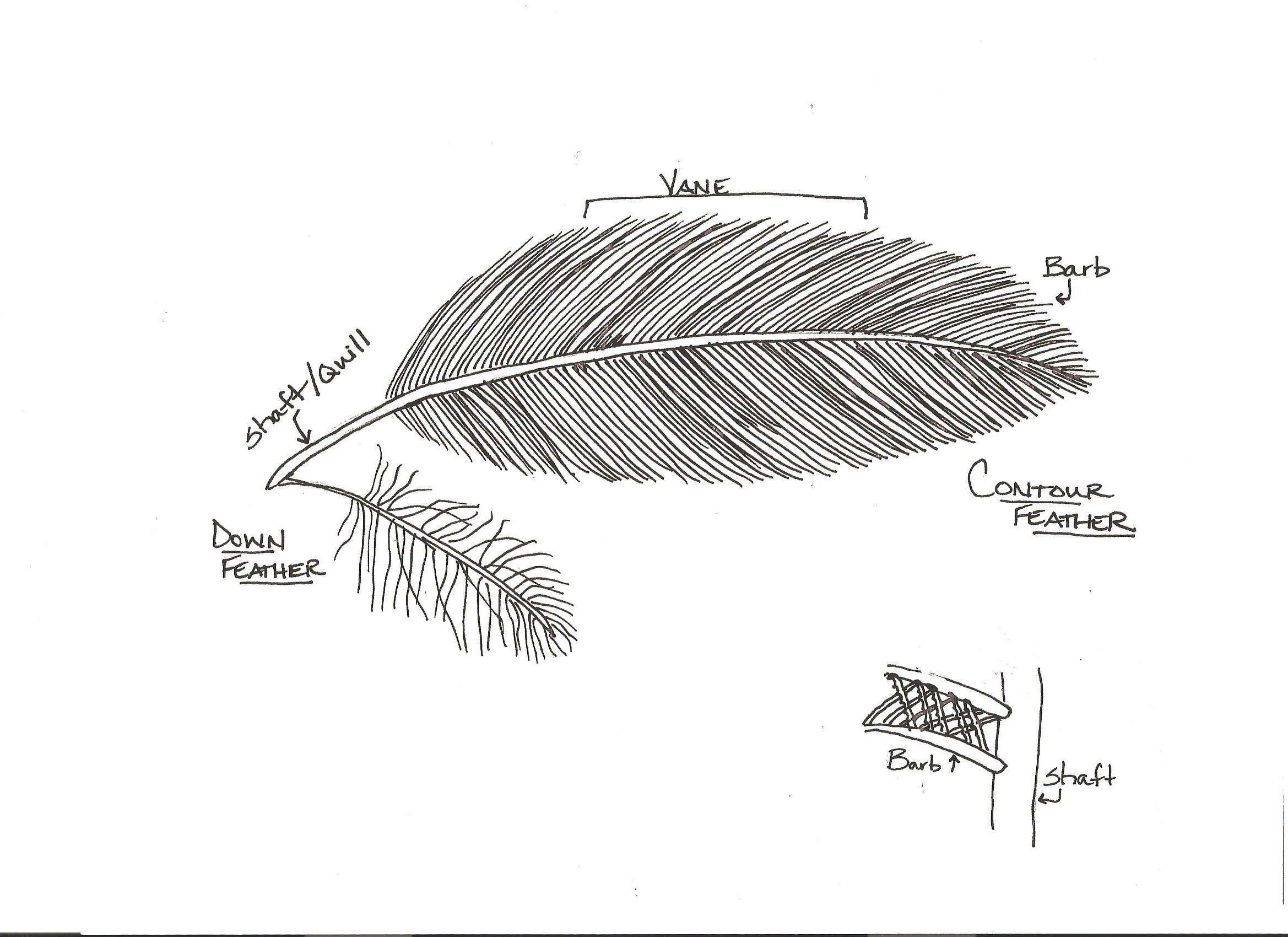 Diagram of a bird feather with associated activity. www ...