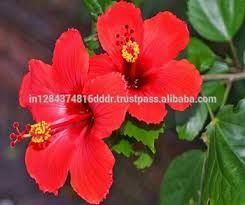 Wholesale Hibiscus Wholesale Hibiscus Flowers A Popular Plant