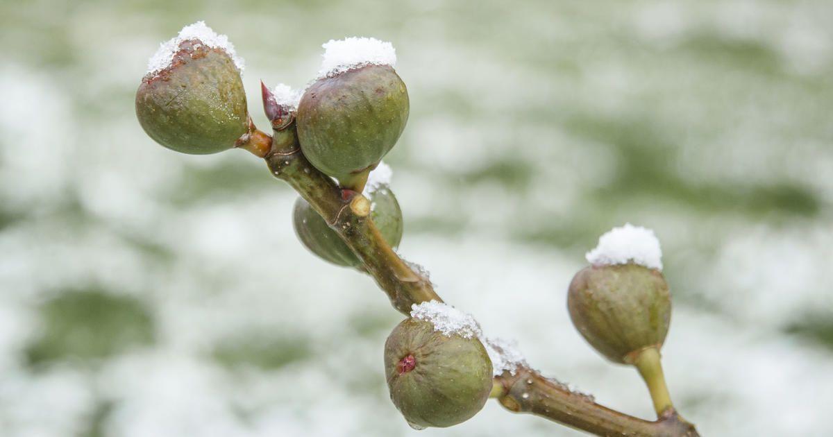 Feigenbaum überwintern: Tipps für Topf und Garten #hortensienvermehren