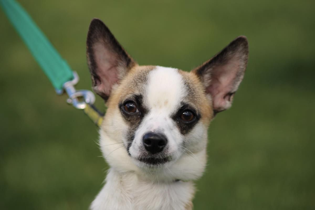 Chester Dogs Trust Dogs Chihuahua