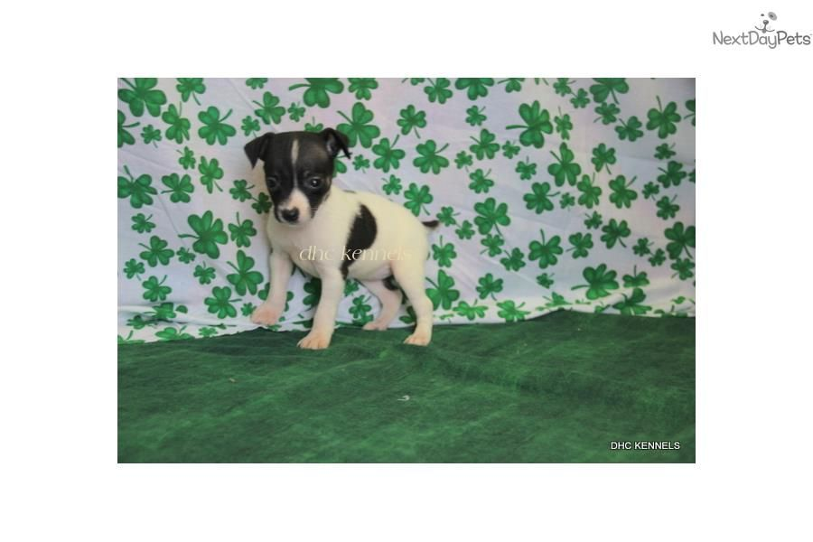 Rat Terrier Puppy For Sale Near Springfield Missouri B5c13dc6 Ad51 Rat Terrier Puppies Rat Terriers Puppies