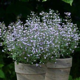 calamintha marvelette blue plante vivace fleurissant tout. Black Bedroom Furniture Sets. Home Design Ideas