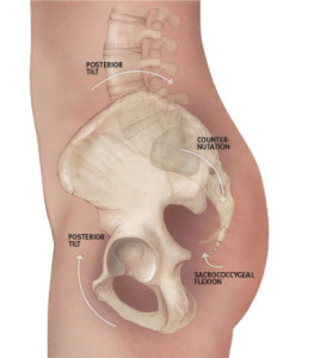 Anatomy 101: Understanding Your Tailbone | Yoga anatomy, Yoga ...