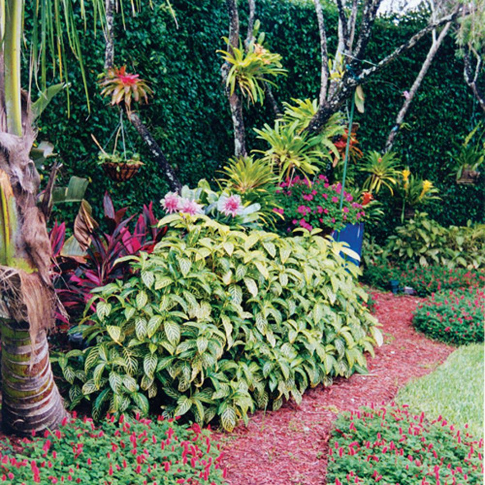 This Palm Beach County Landscape Features Sanchezia (the Variegated Plant)  Bordered By Dwarf Chenille