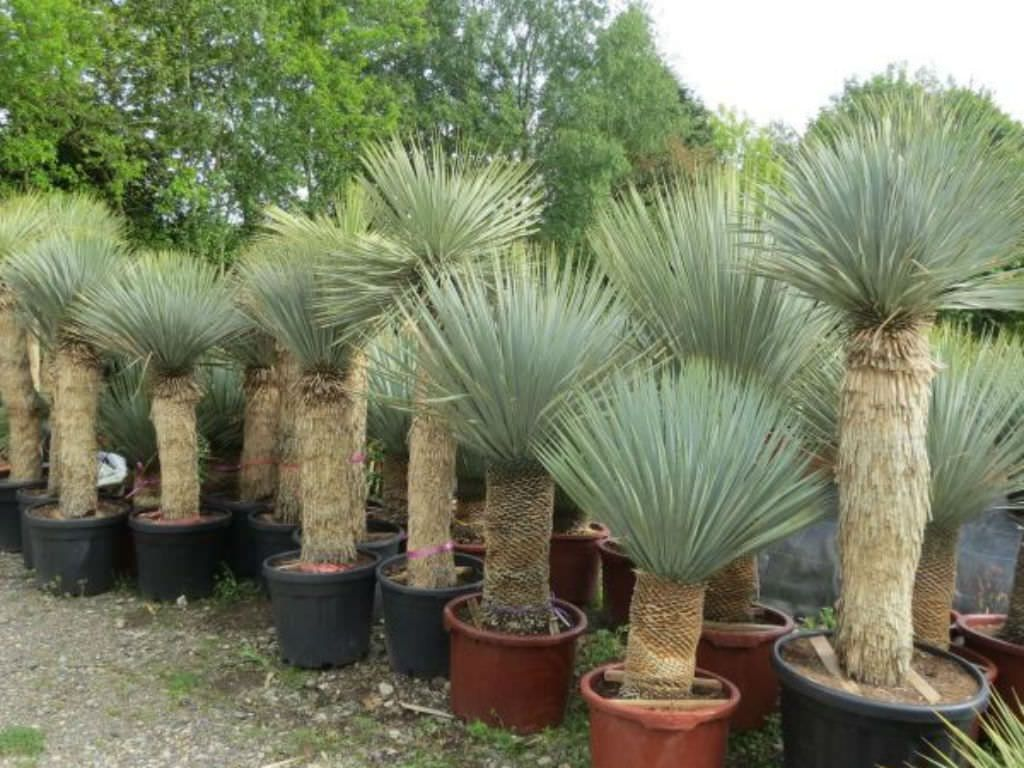 Yucca Rostrata Beaked Yucca With Images Yucca Rostrata