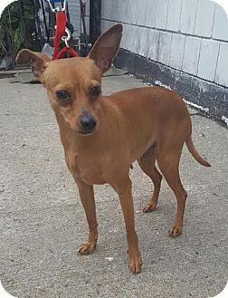 Bronx Ny Chihuahua Miniature Pinscher Mix Meet Missy A Dog