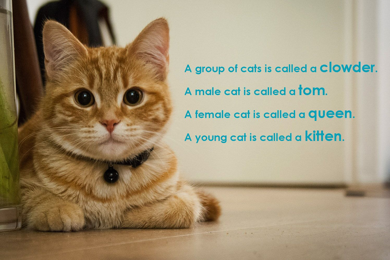 Happy Friday A group of cats is called a clowder a male cat is