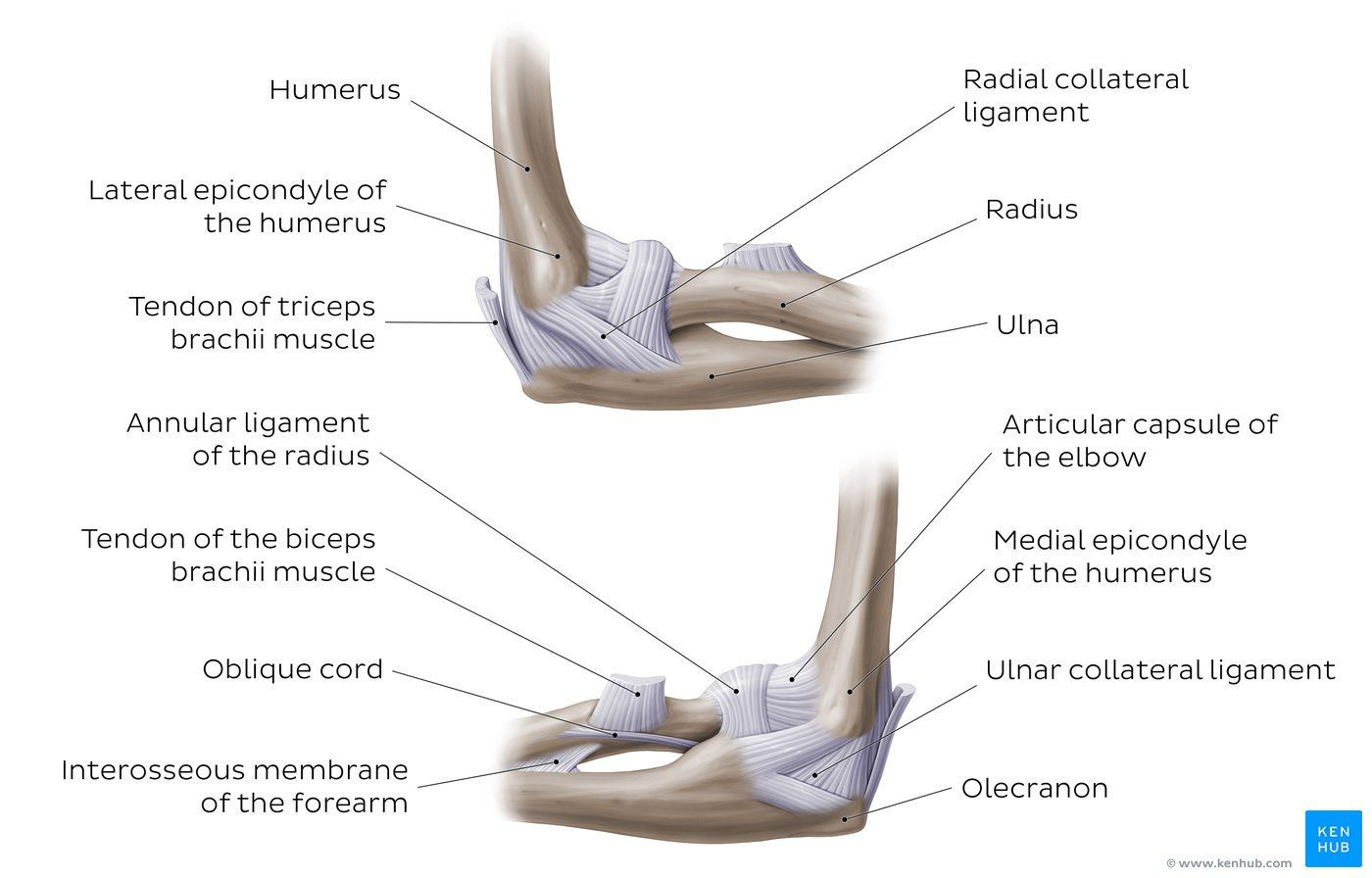 Diagram Pictures Elbow Joint Anatomy Kenhub Joints Anatomy Joint Elbow