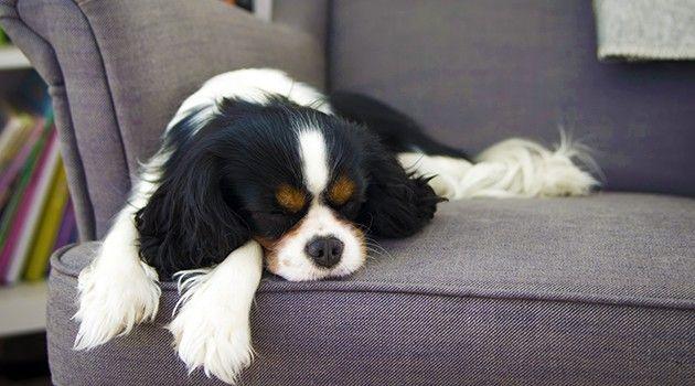 Resultado de imagem para cheiro de cachorro no sofá