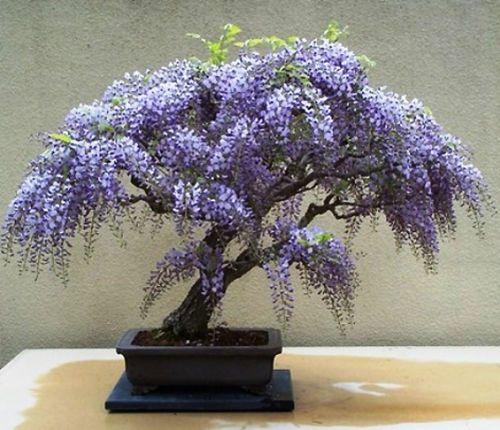 Bolusanthus Speciosus Tree Wisteria 20 Seeds Wisteria Bonsai Bonsai Seeds Wisteria Tree