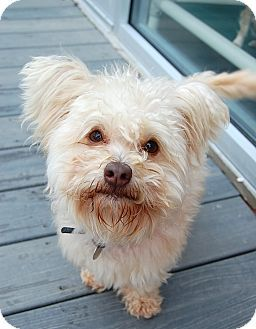 Adopt a Pet :: Lincoln - Smyrna, GA - Yorkie, Yorkshire Terrier/Maltese Mix