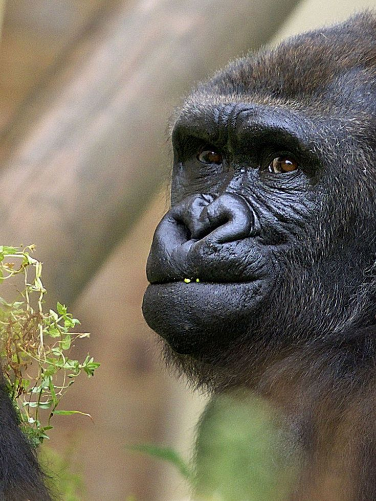 This Gorilla Is Really Tired Of Living In A Zoo And Having His Photo Taken