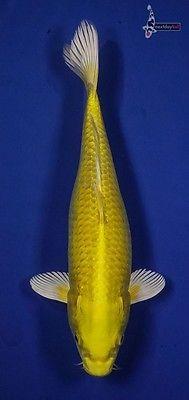 """12"""" FEMALE YAMABUKI OGON Imported Koi live fish standard fin nextdaykoi NDK https://t.co/SWZrqQ3sNi https://t.co/8KYKf3O8lQ"""