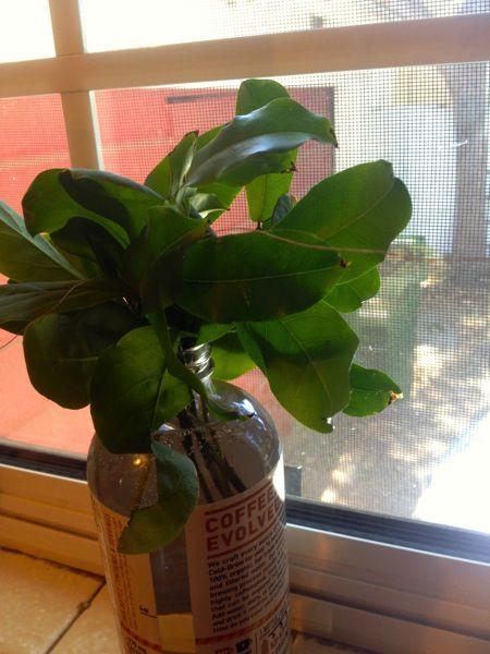 Photo: Brunfelsia and Clytostoma cuttings on kitchen windowsill