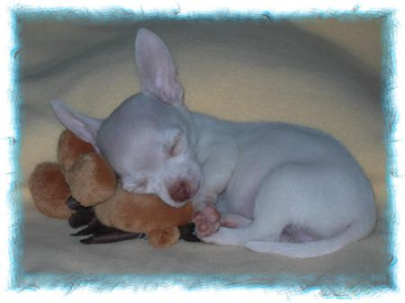 Chihuahua Newborn Puppies Little More Chihuahuas Chihuahua Puppies