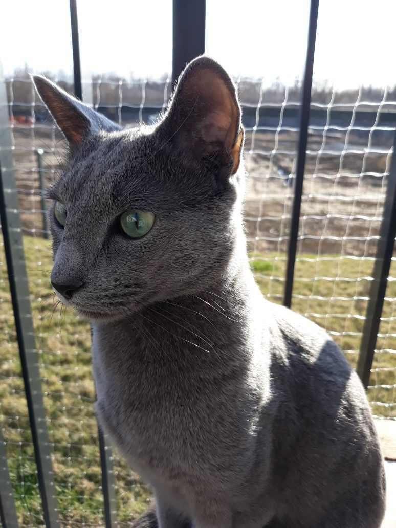 Pin By Jazzy Visions On Blue Cat Russian Blue Blue Cats Animals
