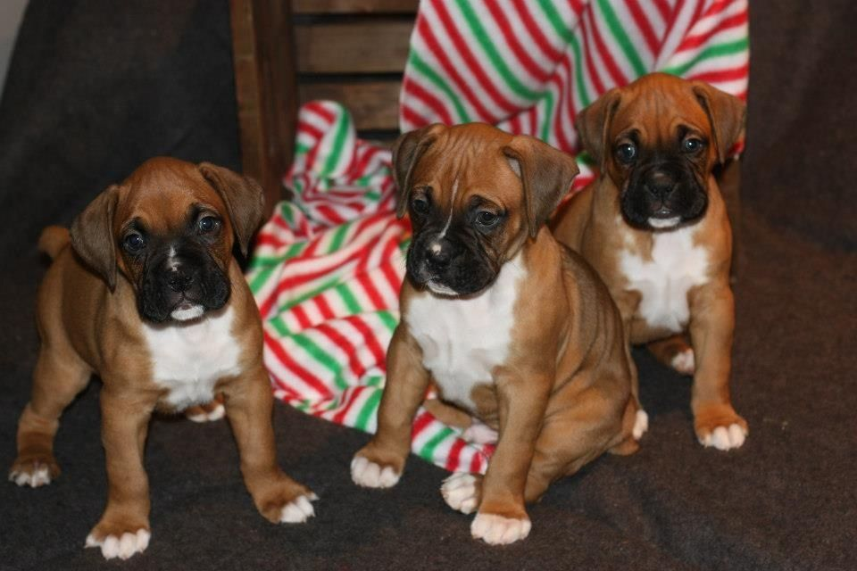 Aca Boxer Puppies For Sale Just In Time For Christmas Ready 12