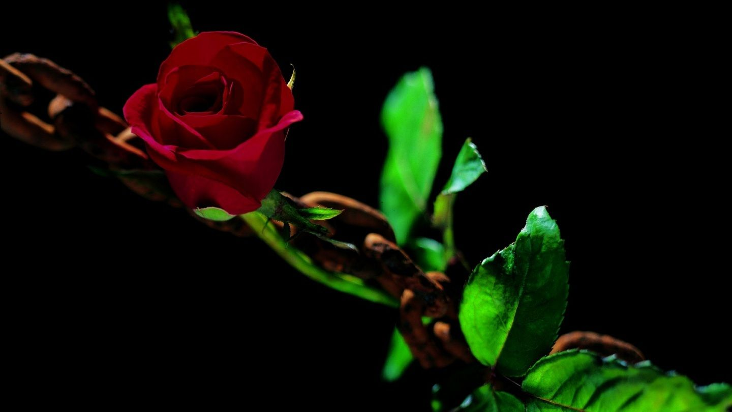 Flower wallpapers dark nature flowers lovely chained green chain red flower wallpapers dark nature flowers lovely chained green chain red beautiful rose beauty of flowers and izmirmasajfo Images