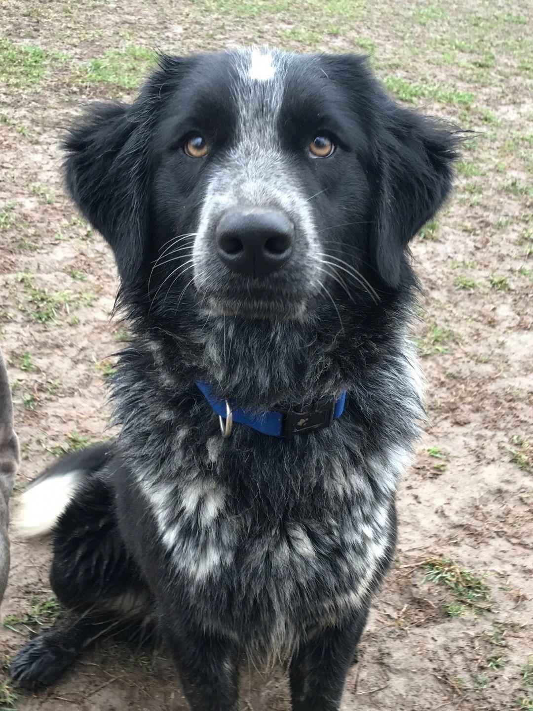 Dog For Adoption Jasmine An Australian Shepherd Labrador