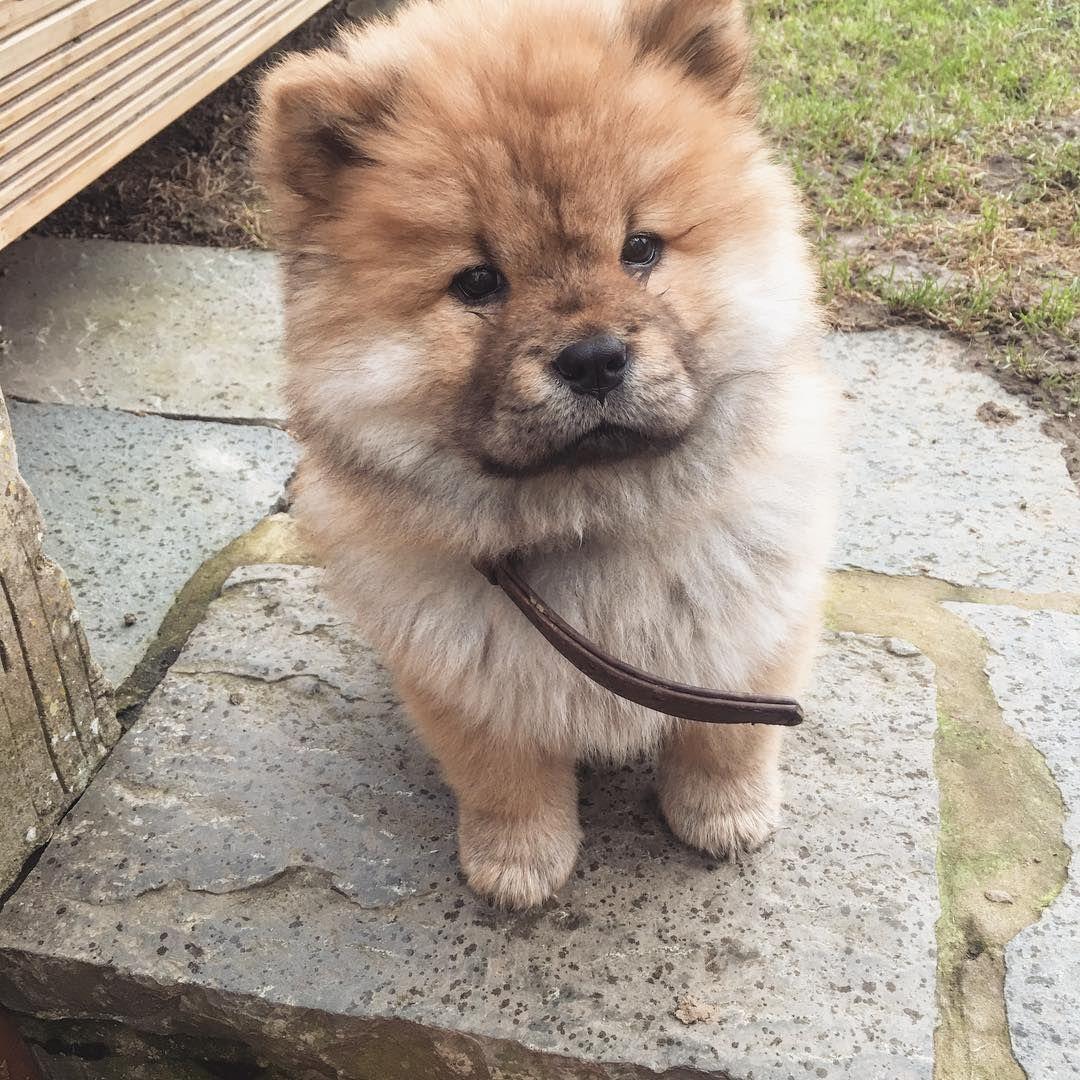 Chow Chow Chow Chow Dogs Pets Chow Chow Puppy