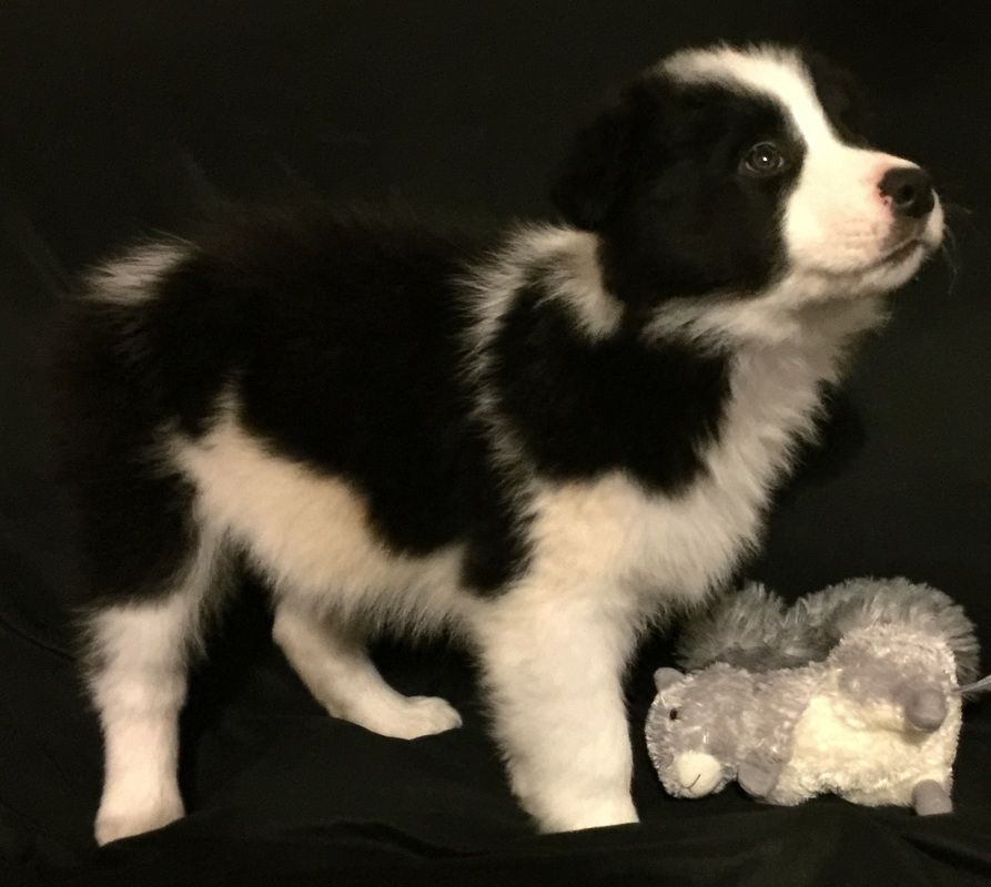 Chip Is A Gorgeous Black And White Border Collie Puppy Bordercollie Border Collie Puppies Collie